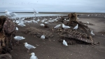 Sea gulls feed on Bowhead Whale carcasses, Point Barrow, most northern point in Alaska