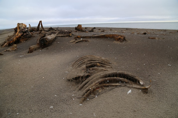 Bowhead Whale carcasses, Point Barrow, most northern point in Alaska, I